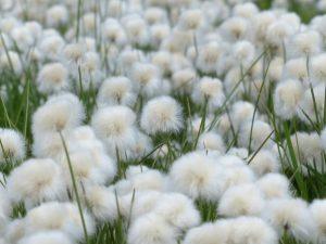 scheuchzers-cottongrass-175410_1920